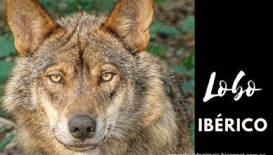 Lobo Animal Carnivoro