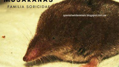 Familia Soricidae