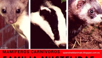 Mamíferos Carnívoros Mustelidae