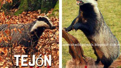 Tejón Animal