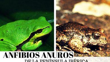 Anfibios Anuros
