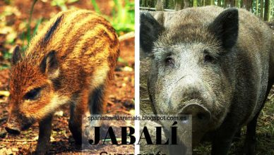 Jabalí, Animal Mamífero