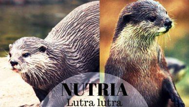Nutria, Animal