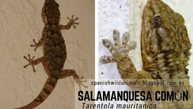 Salamaquesa Común