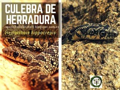 Culebra de Herradura