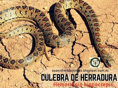 Hemorrhois hippocrepis, es una serpiente propia de la zona seca y habitual en antiguas construcciones