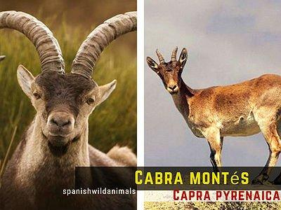 Cabra montesa, Capra pyrenaica