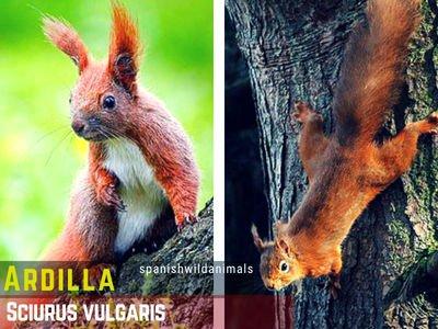 La Ardilla, Sciurus vulgaris.