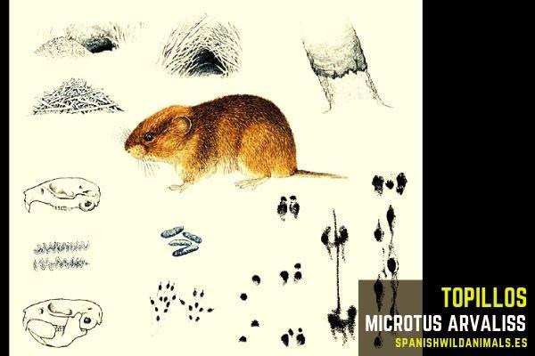 El topillo, Microtus arvalis, su función en la naturaleza es la aireación del suelo