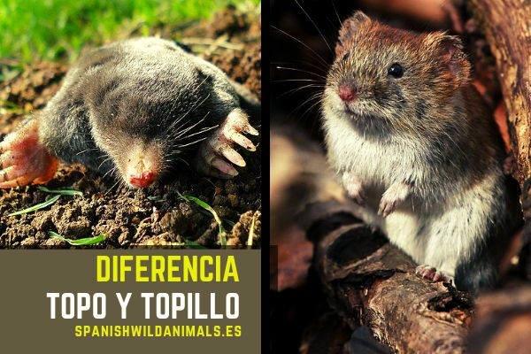 La diferencia entre el topo y el topillo es que son especies diferentes, aquí te lo explicamos
