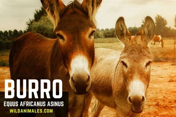 burro o asno, animal
