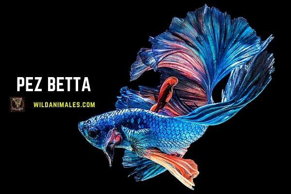 pez luchador de Siam