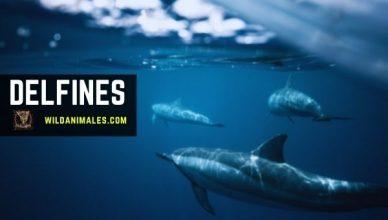 delfines, Delphinidae