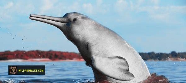Delfines de río especies