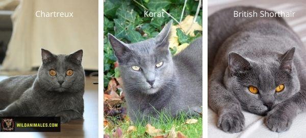 razas de gato de color azul sólido