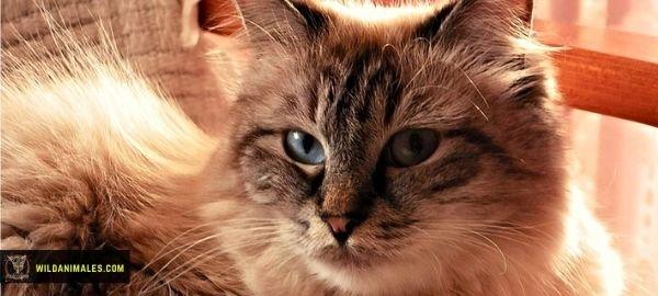 Cómo saber si es un Gato Siberiano