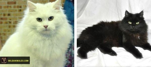 gatos siberianos blanco y negro