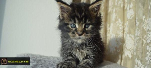 gato Main bebe